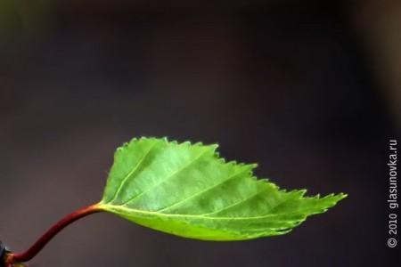Берёзовый листок