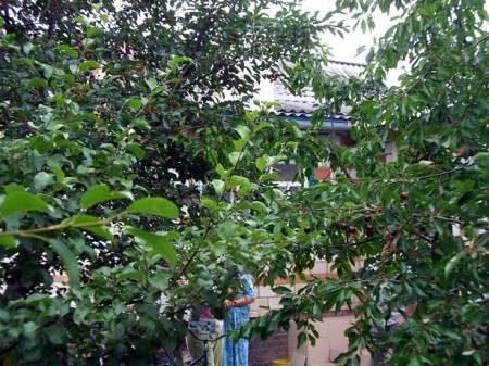 В Глазуновке в изобилии растут вишневые и сливовые деревья
