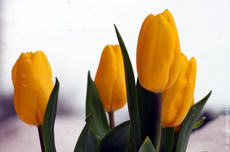 Тюльпаны в день 8 марта.
